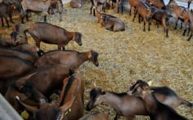 В Кардымовском районе будут делать элитный сыр из молока альпийских коз