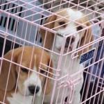 В Смоленске состоится выставка собак