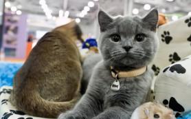 В Смоленске откроется международная выставка кошек