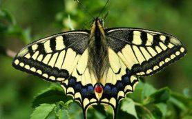 В Поозерье будут разводить и выпускать в природу редких бабочек и жуков