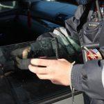 О том, как храбрые смоленские полицейские одолели грозную и коварную преступницу-инвалида