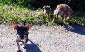 """Собаку со щенками """"добрый смолянин"""" оставил умирать прямо на дороге"""
