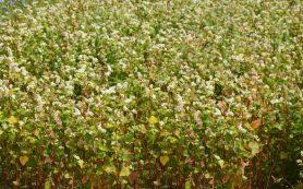В Смоленской области в три раза увеличились посевы гречихи