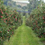 На Смоленщине появятся обширные яблоневые сады