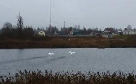 Смолян просят спасти замерзающих лебедей