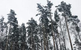 Смолян предупреждают о последствиях незаконной рубки новогодних деревьев