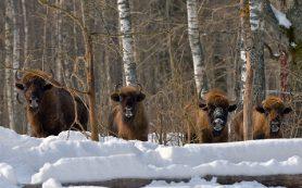 Шесть зубров выпустили из вольера в Смоленском Поозерье