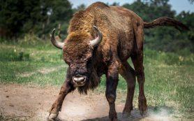 В Починковском районе бык убил 70-летнего мужчину