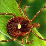 В Смоленской области от укусов клещей за неделю пострадали 73 человека