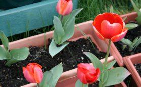 Выращиваем тюльпаны