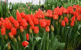 Тюльпаны и лилии собираются выращивать в Смоленской области
