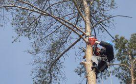 Профессиональное удаление деревьев с помощью альпинистов