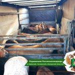 В Смоленской области раскрыли нелегальную схему завоза лошадей из Белоруссии