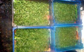 Смолянин вырастил в парнике килограмм конопли «для себя»